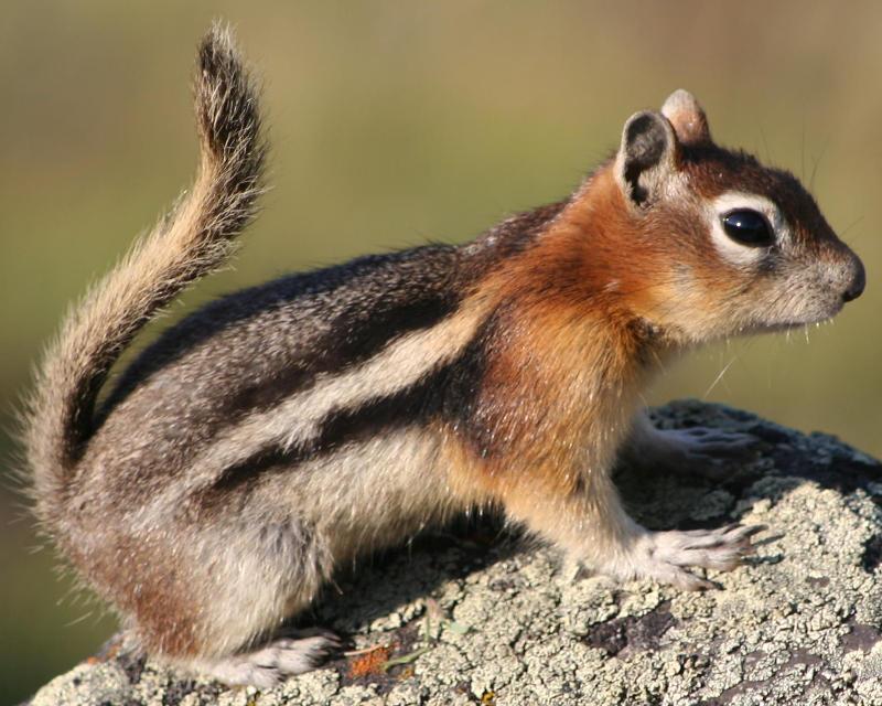 Ground Squirrel, Yellowstone